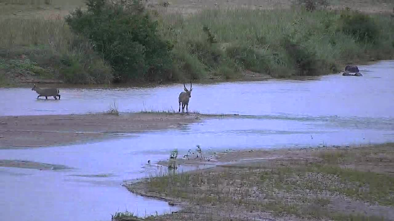 VIDEO: Waterbuck ram chasing the younger ones