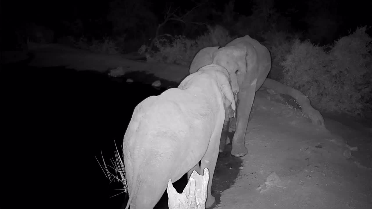 VIDEO: Two Elephant Bulls greet each other