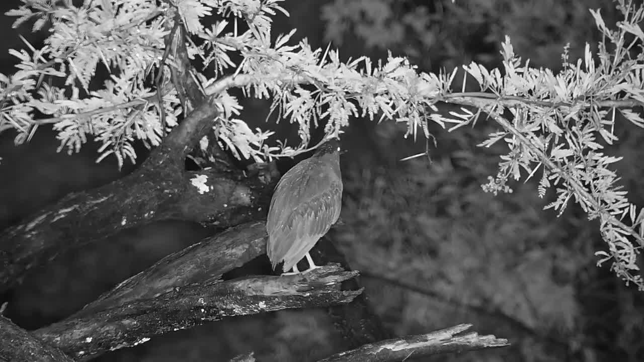 VIDEO: Striated (green-backed) Heron active in the tree