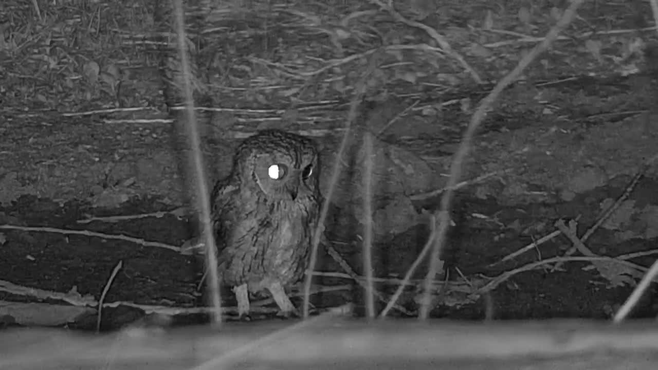 VIDEO: Scops Owl visits the waterhole