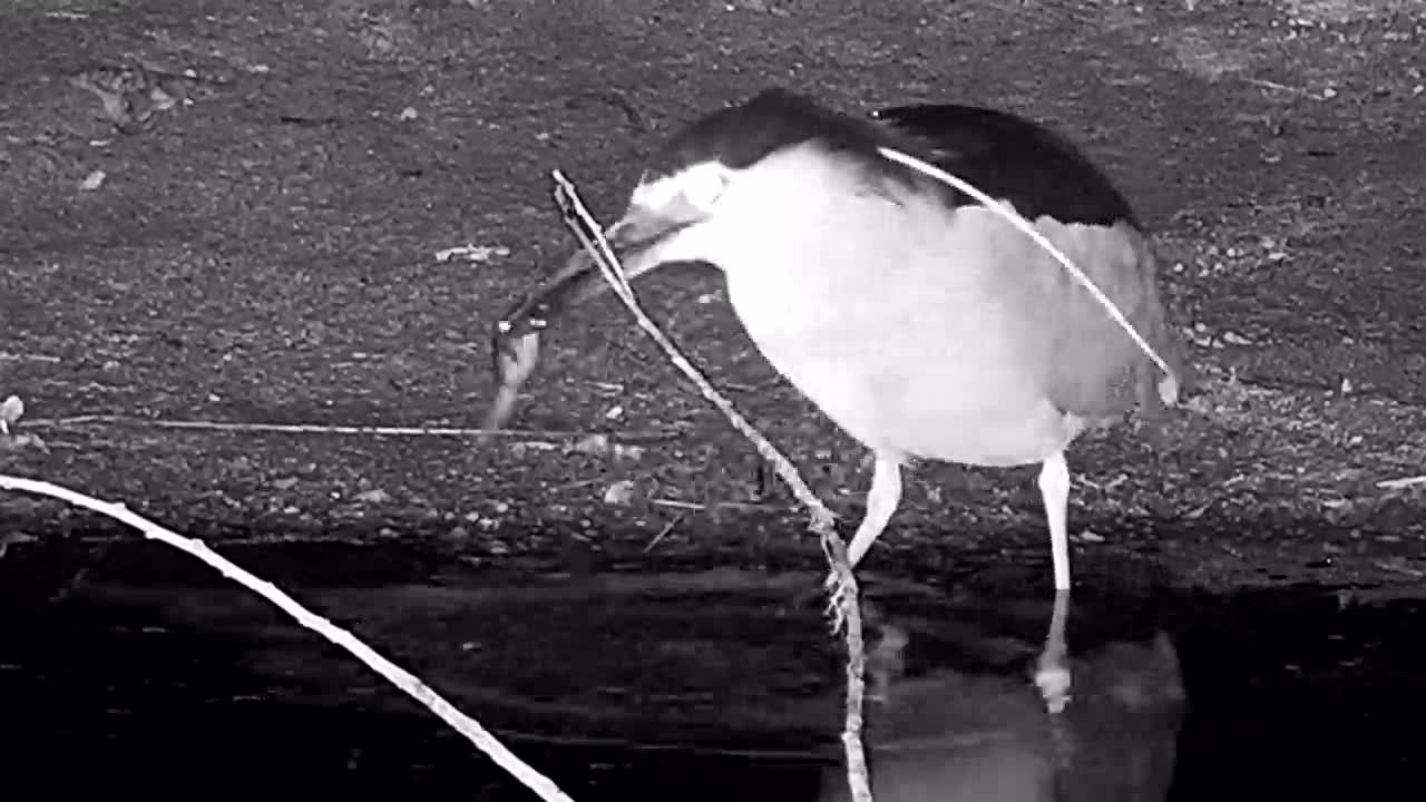 VIDEO: Black-crowned Night Heron catches frog