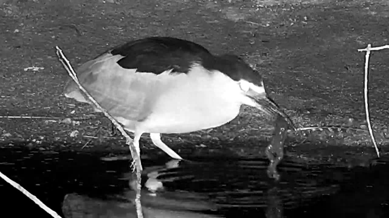 VIDEO: Black Crowned Night Heron eats frog