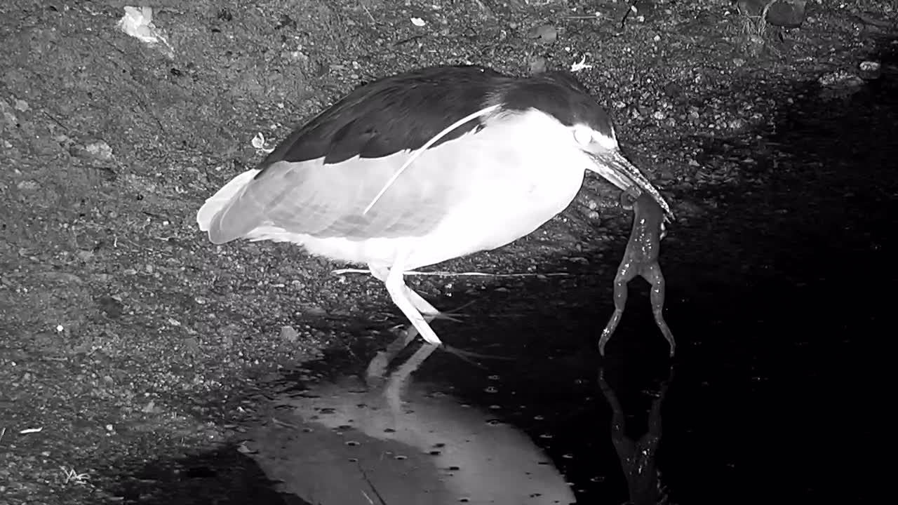 VIDEO: Black-crowned Night Heron eats a Frog