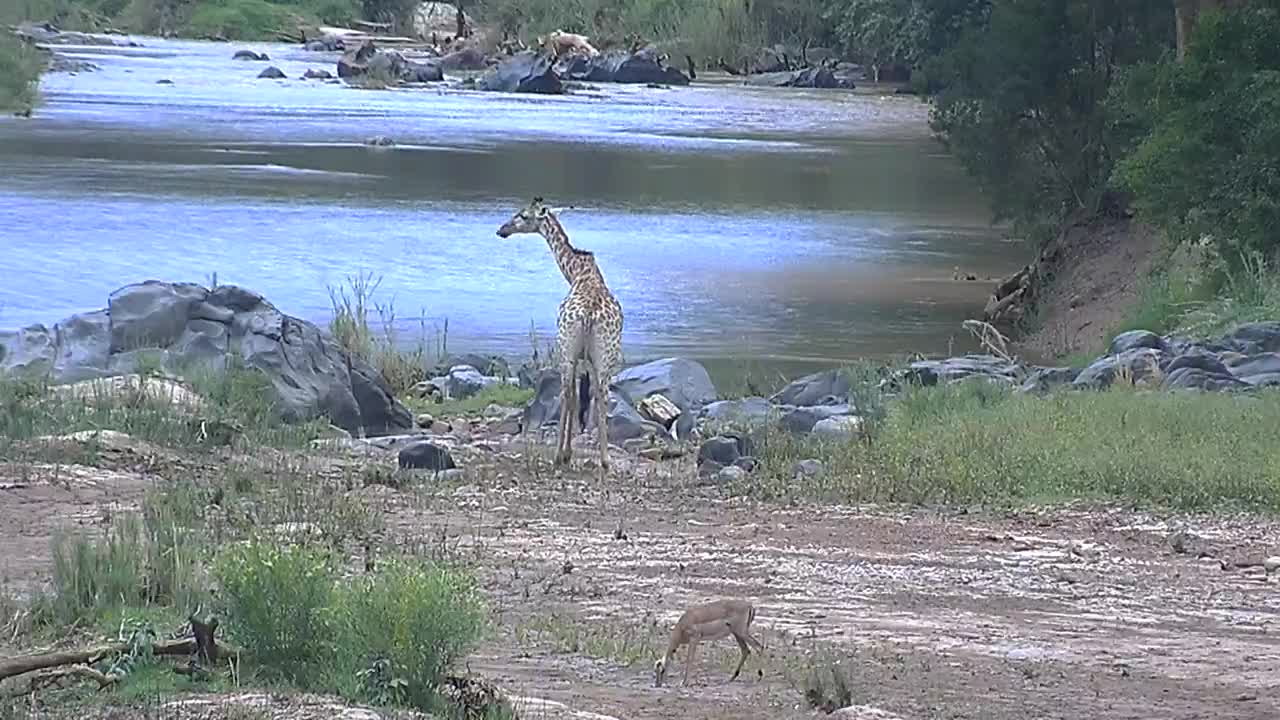 VIDEO: Giraffe having a drink