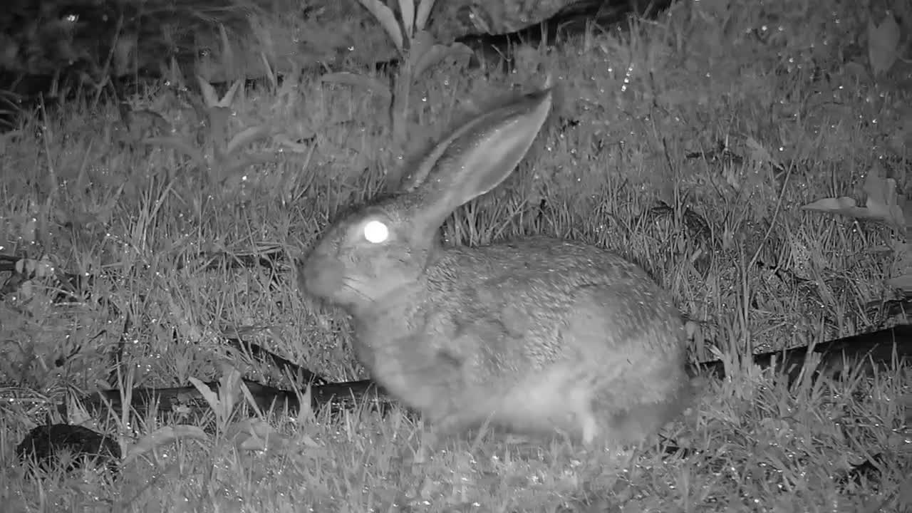 VIDEO: Scrub hare feeding in the rain