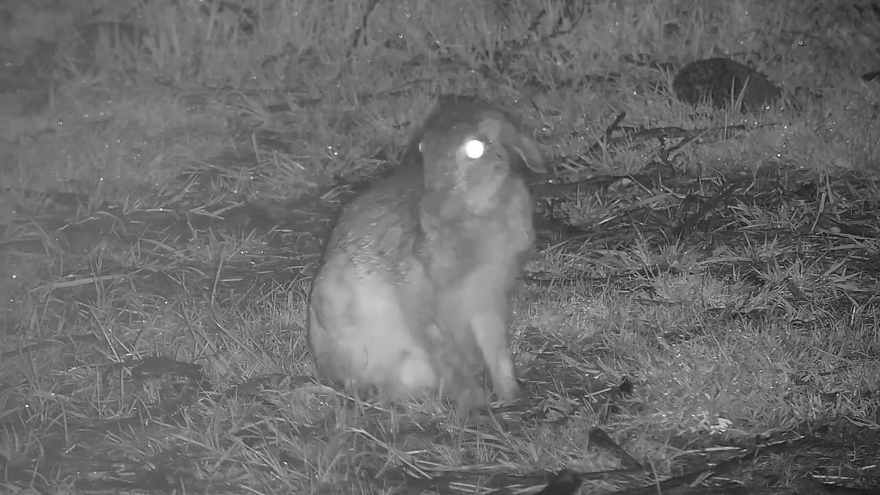 VIDEO: Scrub Hare - grooming time