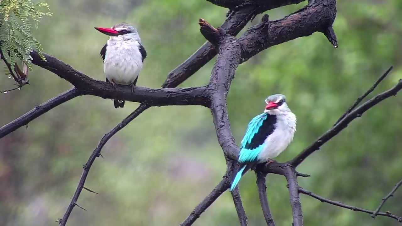 VIDEO: Pair of Woodland Kingfisher in the rain