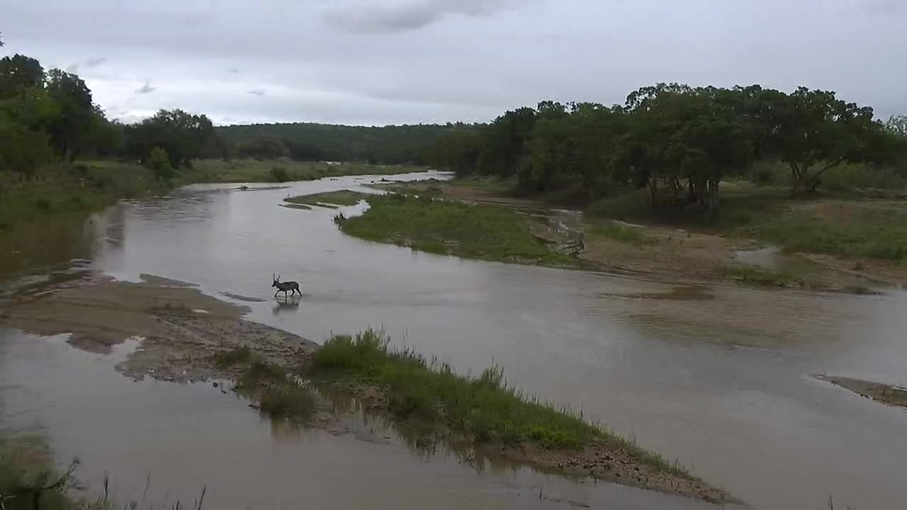 VIDEO: Waterbuck crosses the river in a hurry
