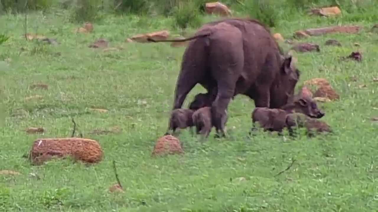 VIDEO: Warthog grazing and the Piglets want mother's milk