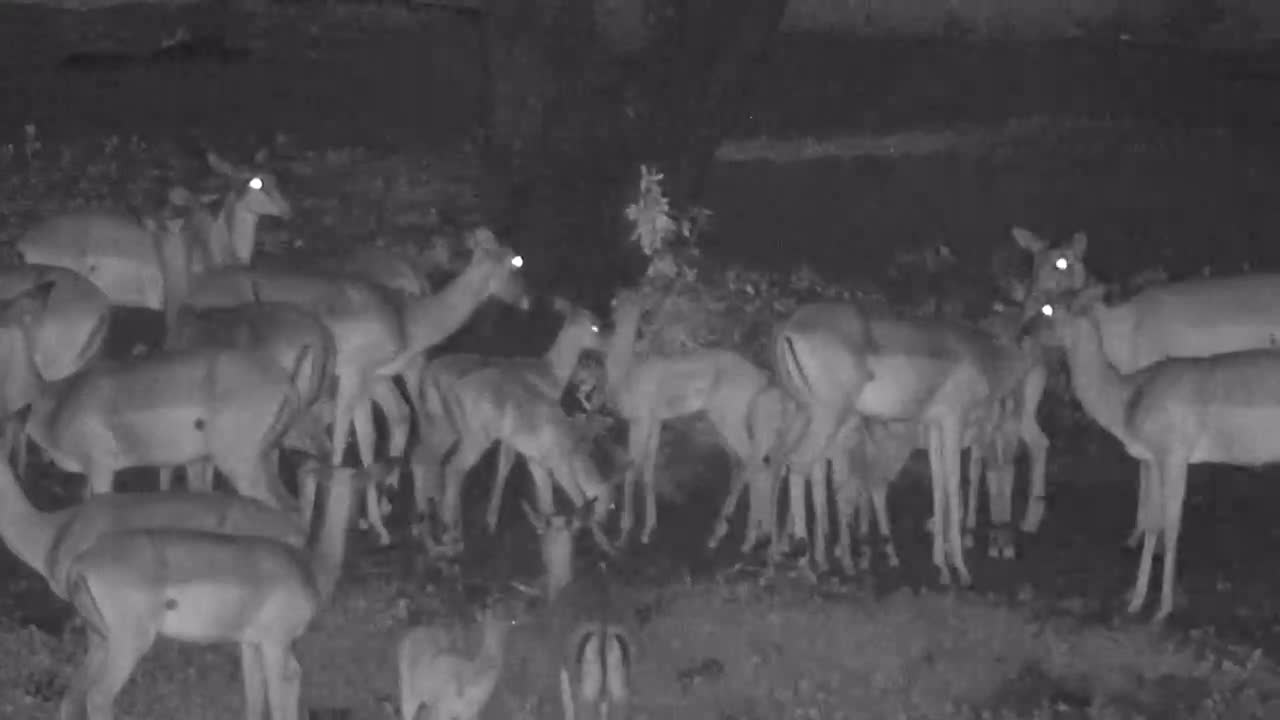 VIDEO: Impala herd and babies