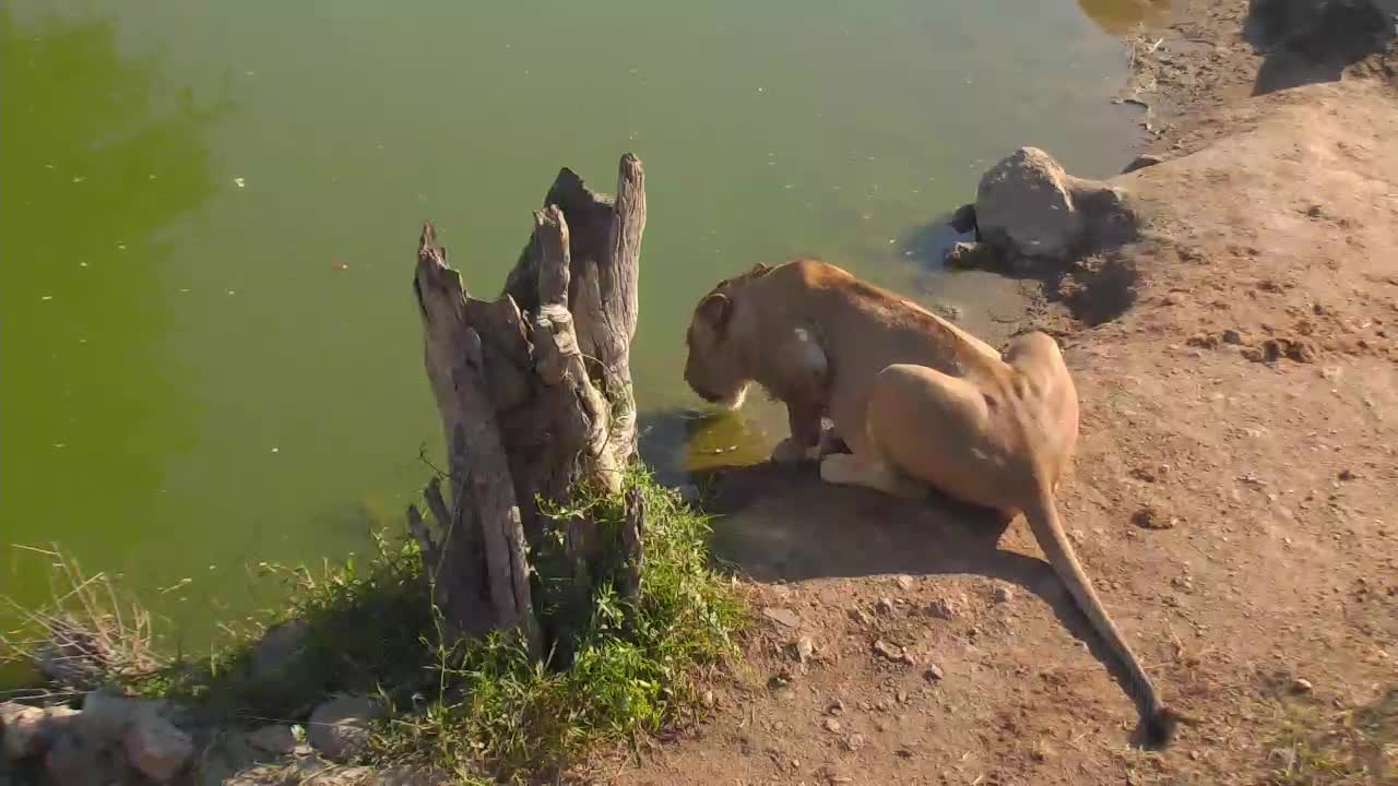 VIDEO:Lone male Lion has a long drink at the waterholeDT_0.mp4