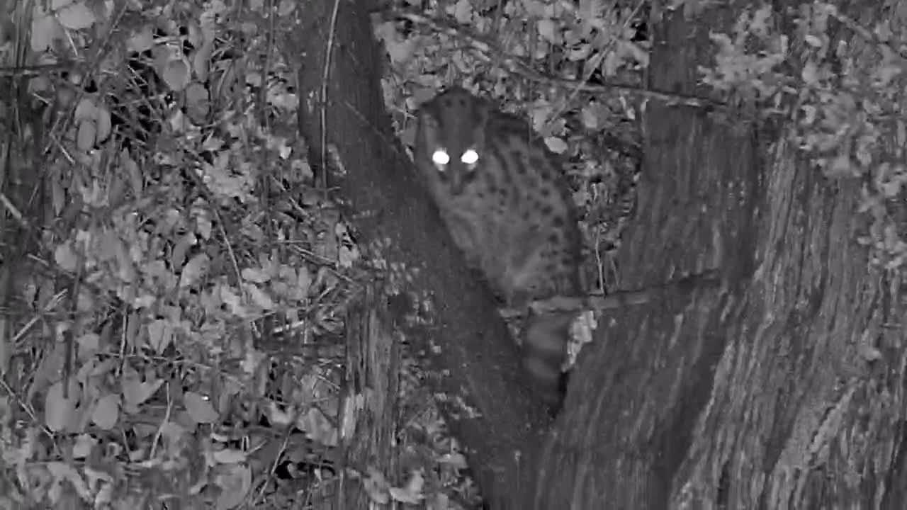 VIDEO: Genet Hunting