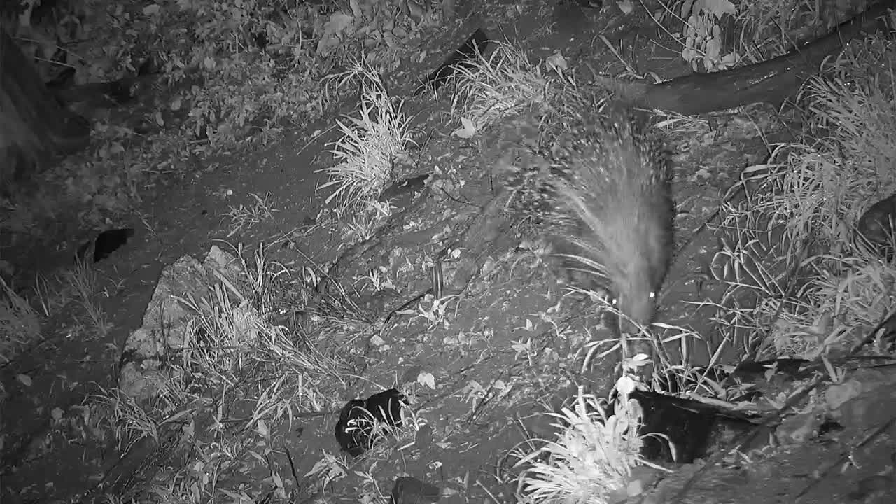 VIDEO:  Porcupine foraging