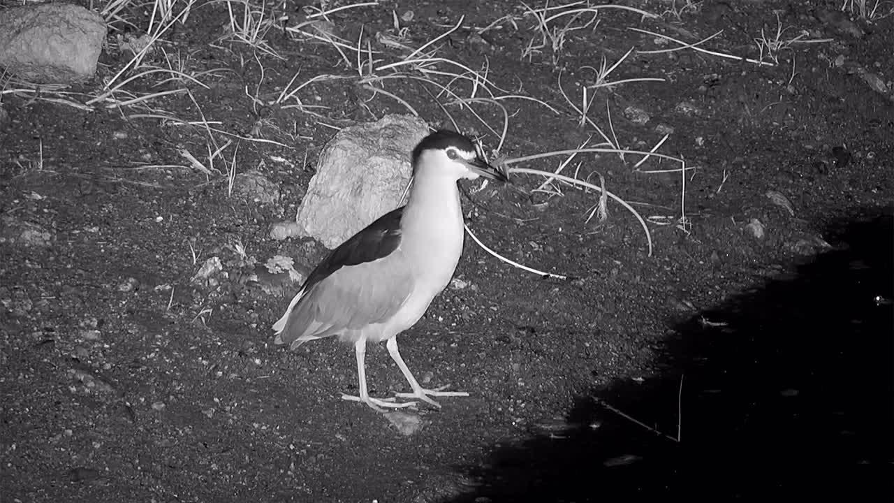 VIDEO: Black-crowned Night Heron looking for food