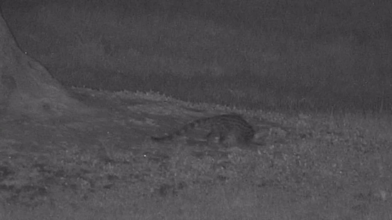 VIDEO: Genet on it's nightly forage