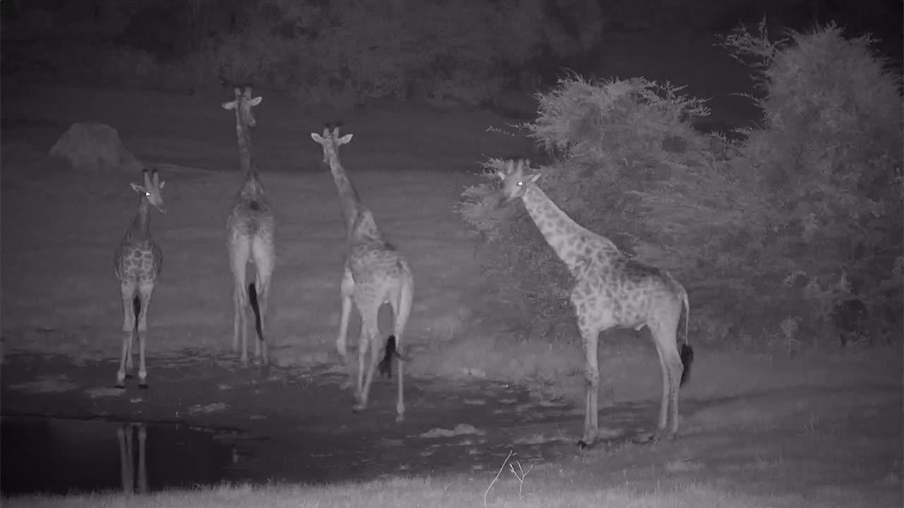 VIDEO: Four giraffe night-time visit