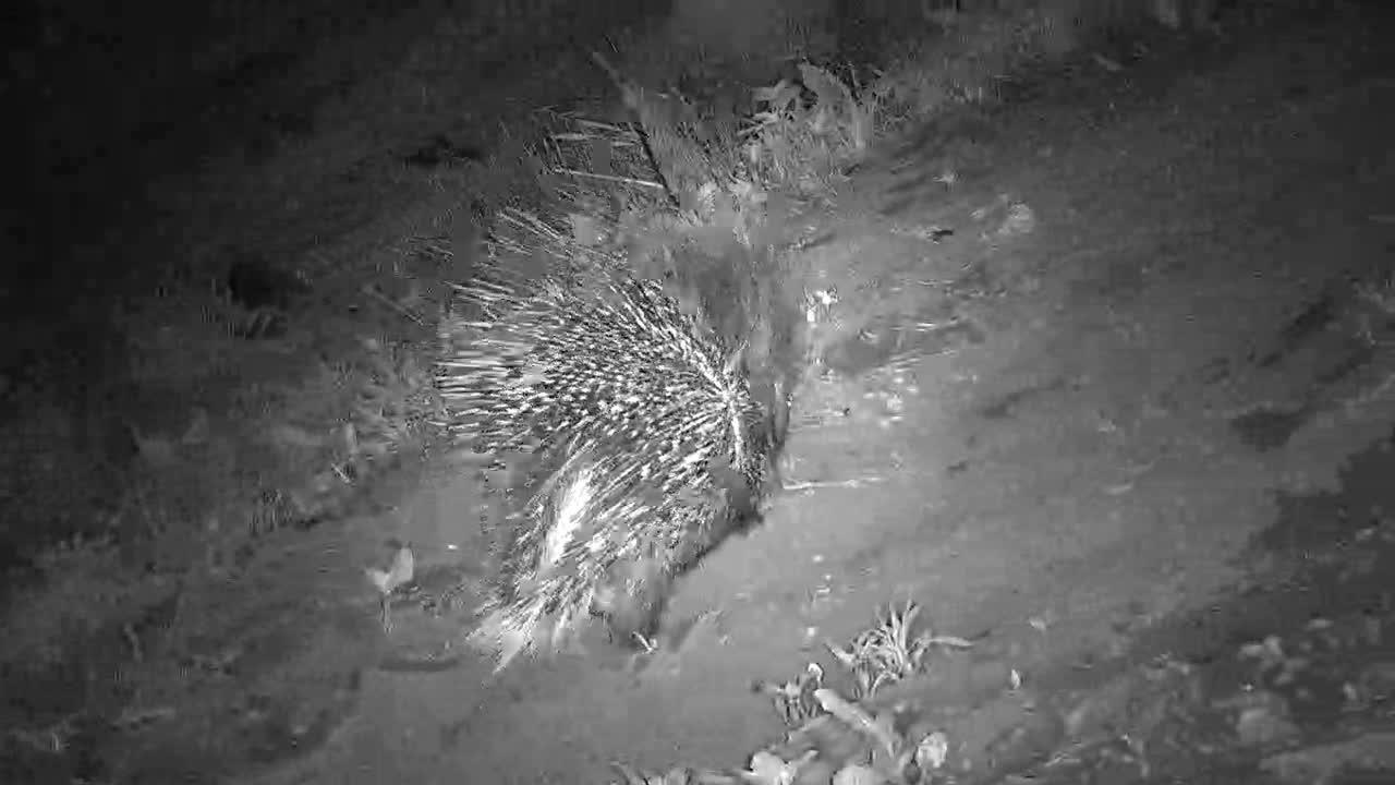 VIDEO: Porcupine found something to eat