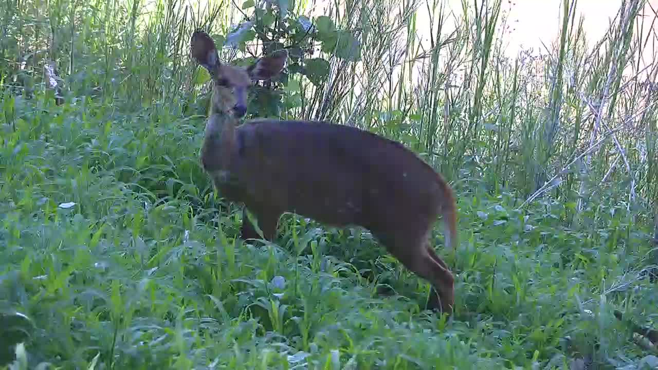 VIDEO: Bushbuck grazing by the river