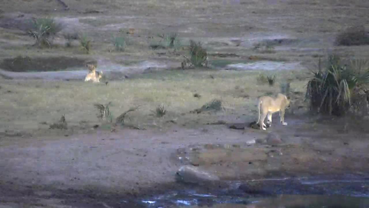 VIDEO:  Lions looking around the waterhole