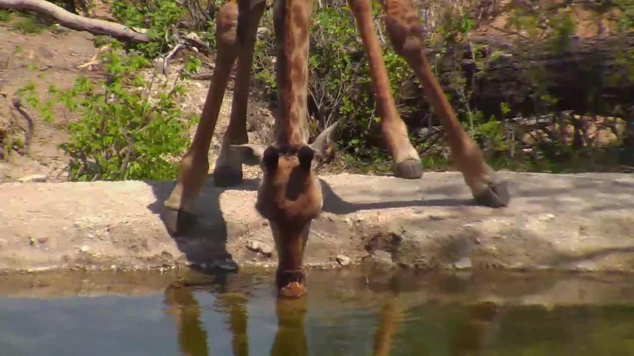 VIDEO:Giraffes at Naledi