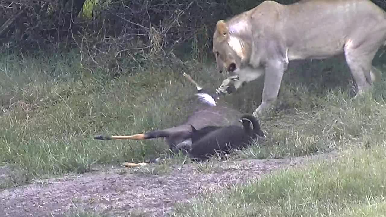VIDEO: Young male Lion interested in Nyala carcass Pt 2