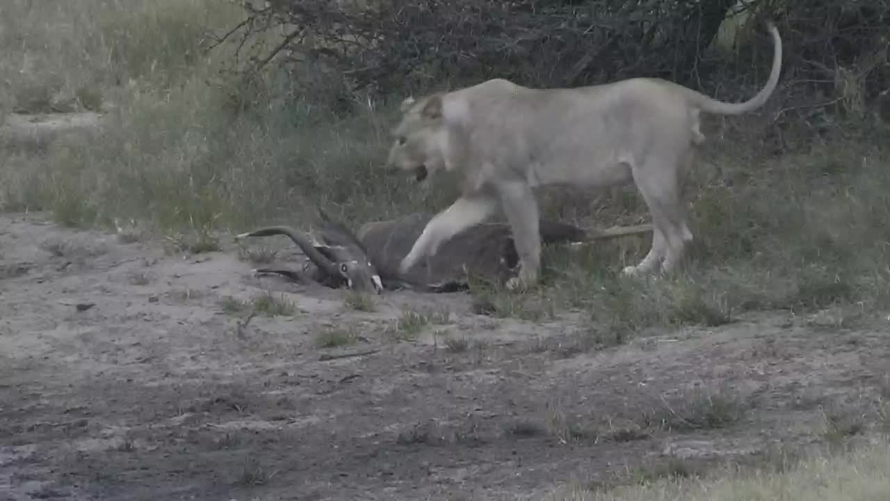 VIDEO: Male Lion moving around