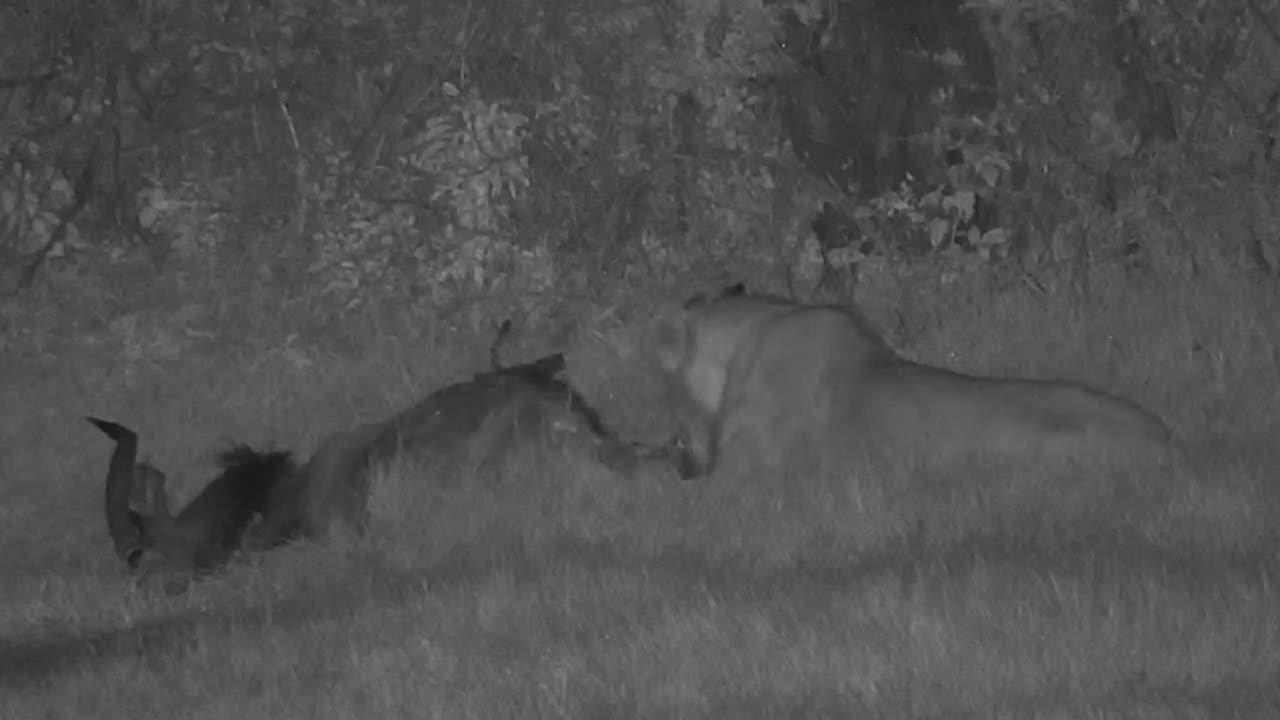 VIDEO: Lion's late night dinner