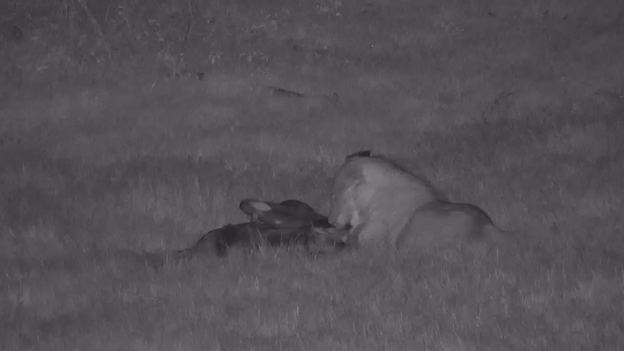 VIDEO: Lion's late night dinner (Part 2)
