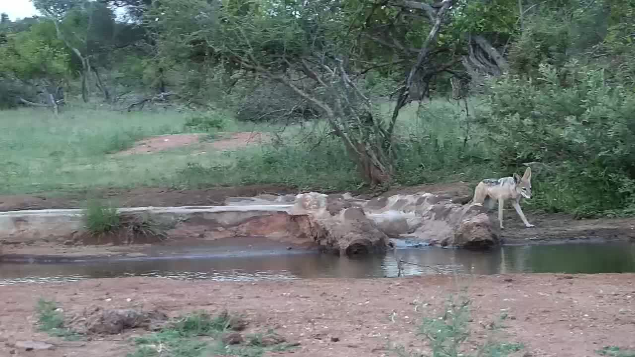 VIDEO: Pair of Jackals make a quick stop at the water hole