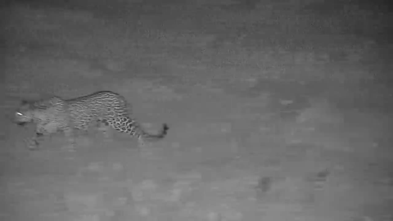 VIDEO: Leopard on a Mission (No audio)