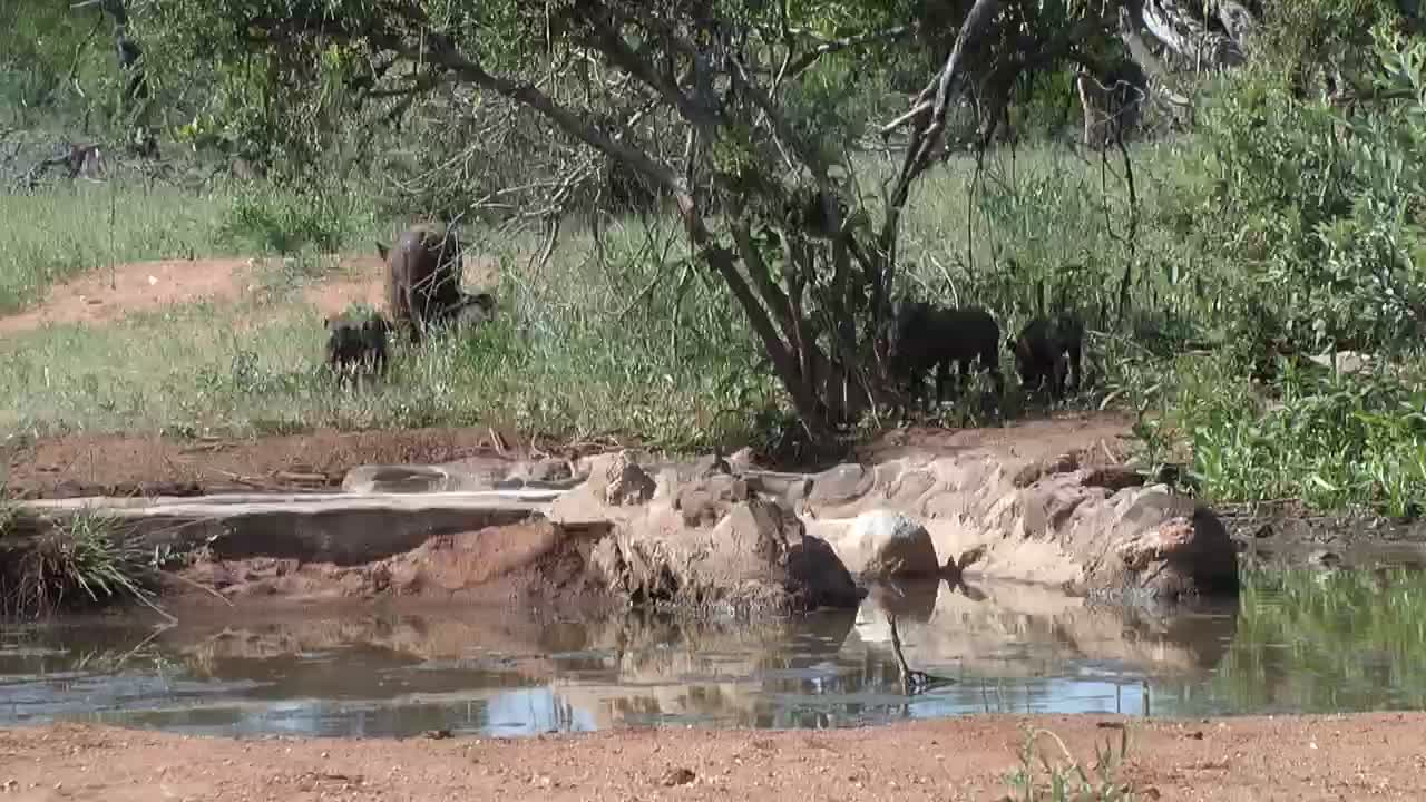 VIDEO: Warthogs with lots of piglets