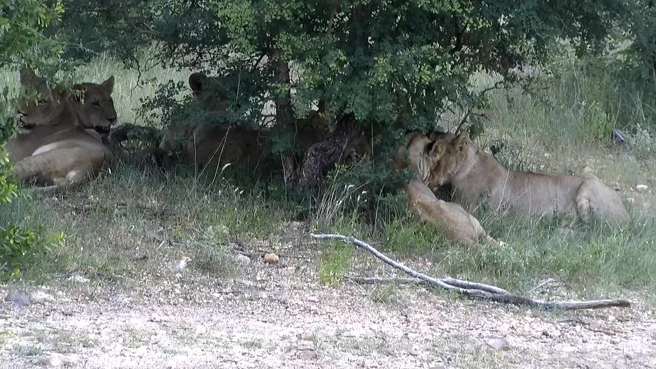 VIDEO: Lion pride comes to drink