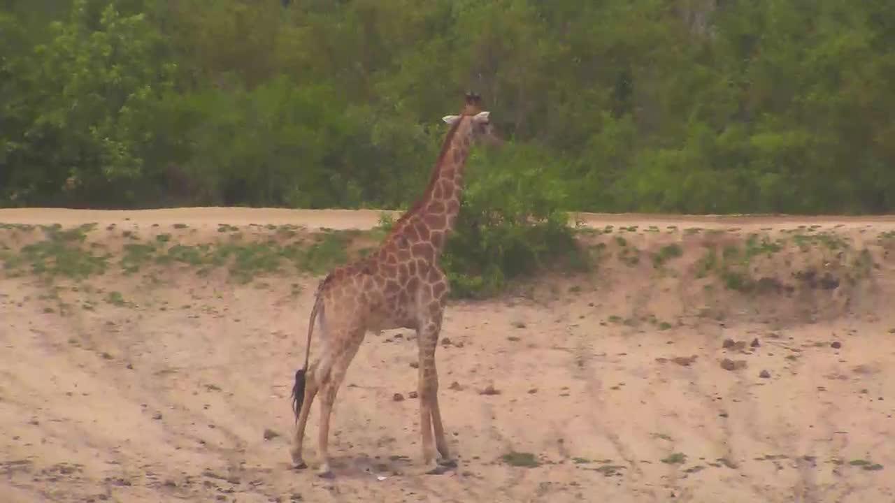 VIDEO:Giraffe at Idube