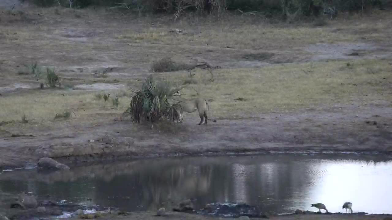 VIDEO:Lioness walking past