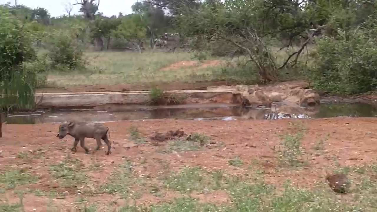VIDEO: Warthog family visits the waterhole