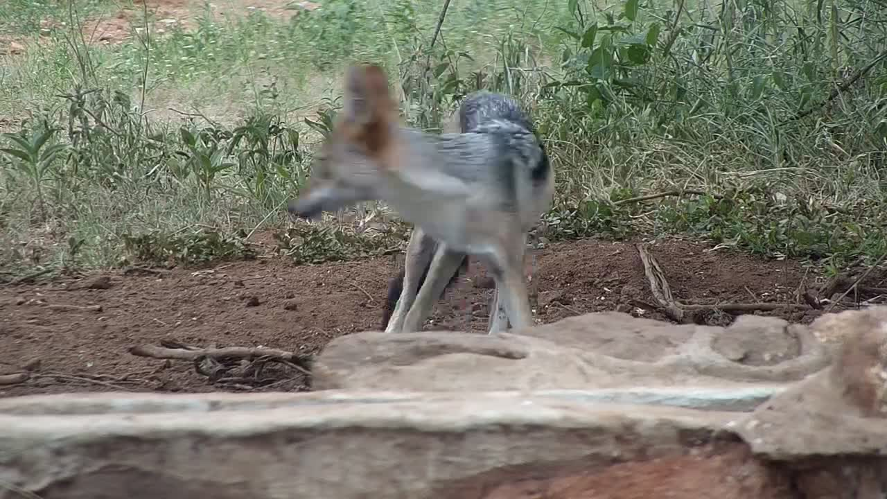 VIDEO:  Black-backed Jackal has a quick drink