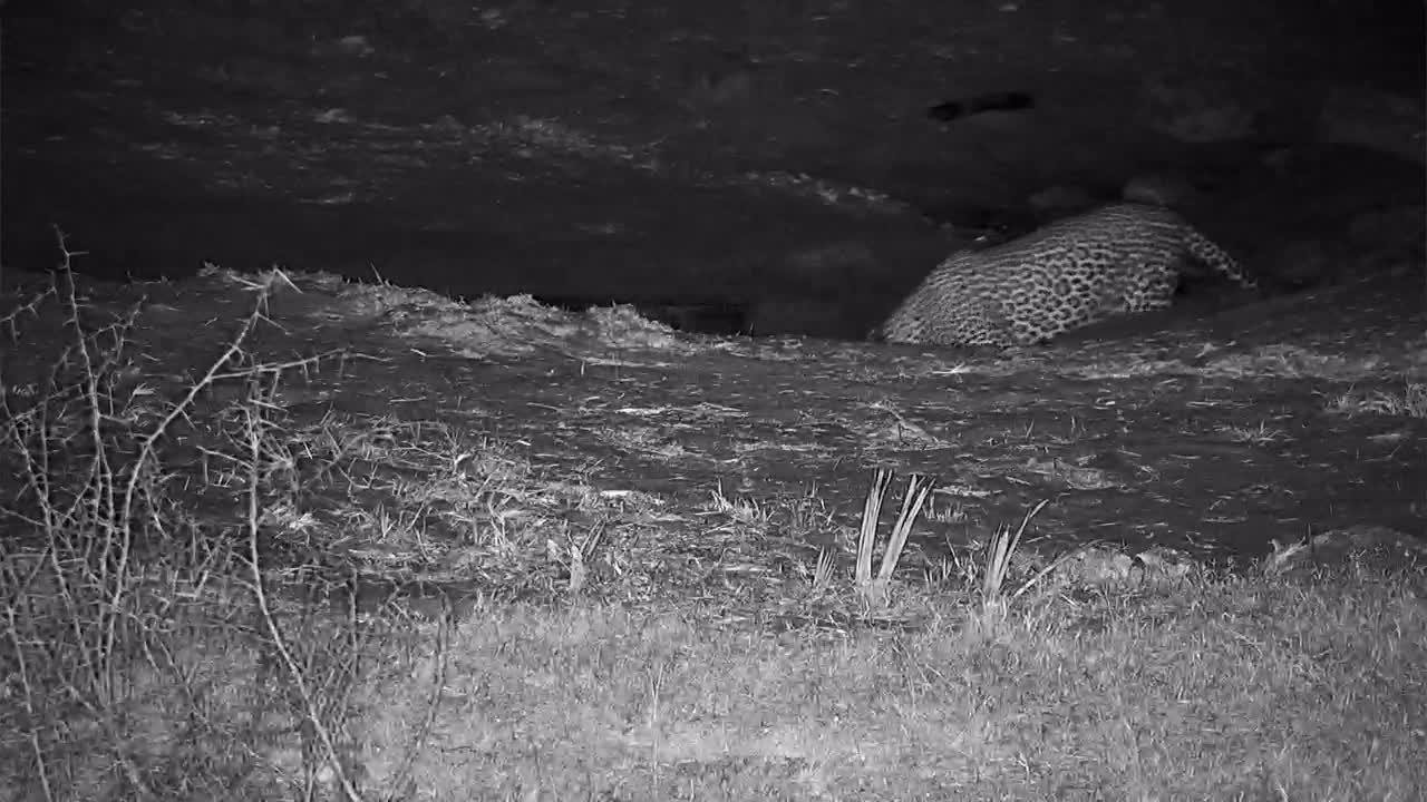 VIDEO: Leopard with Bushbuck alarm calls