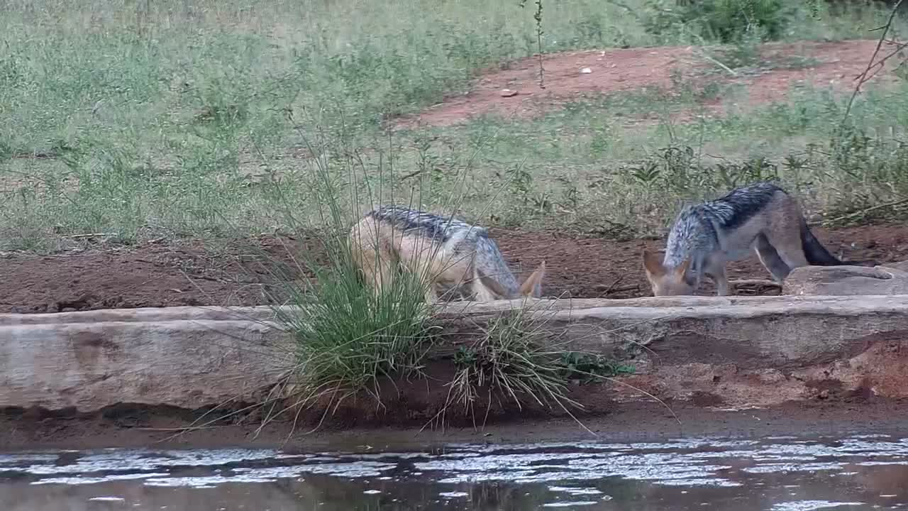 VIDEO: Pair of Black-backed Jackals stop in for a quick drink