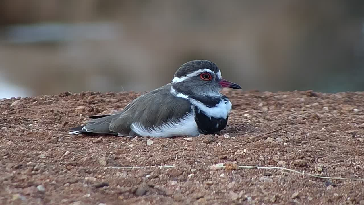 VIDEO: Three-banded Plover relaxing at the waterhole