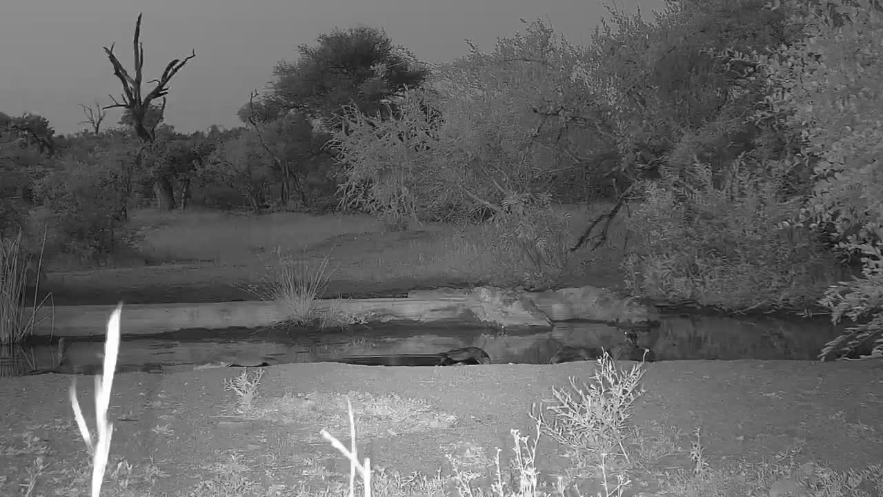 VIDEO: Egyptian Geese around the waterhole