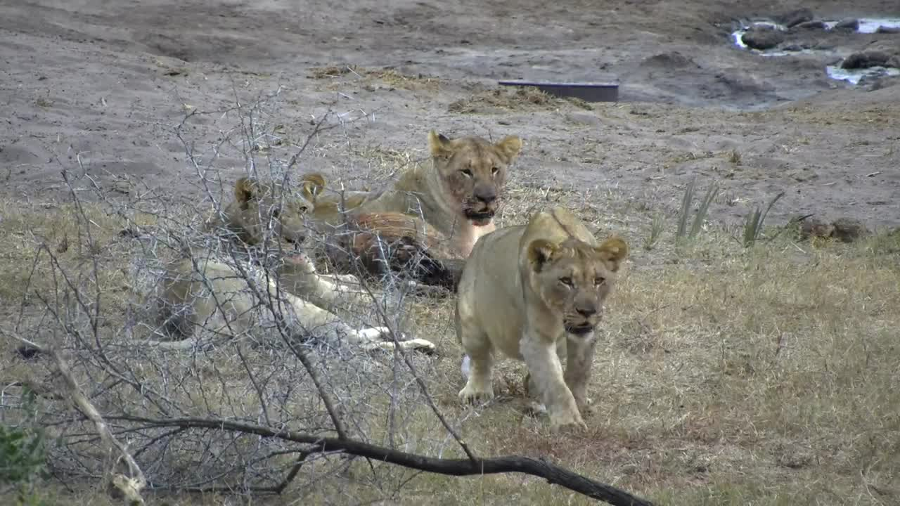 VIDEO: Lions on a Nyala kill. Part 2