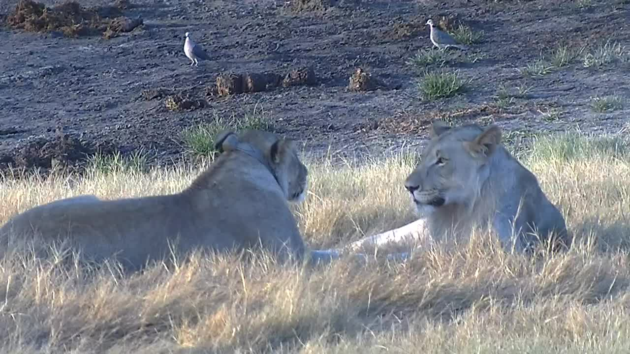 VIDEO: Lions relaxing at the waterhole and provide  close-up views
