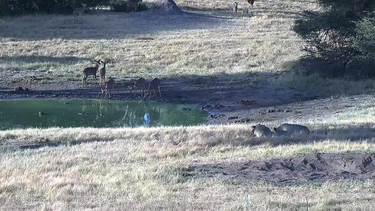 VIDEO: Lions watch as many Nyalas arrive for a drink