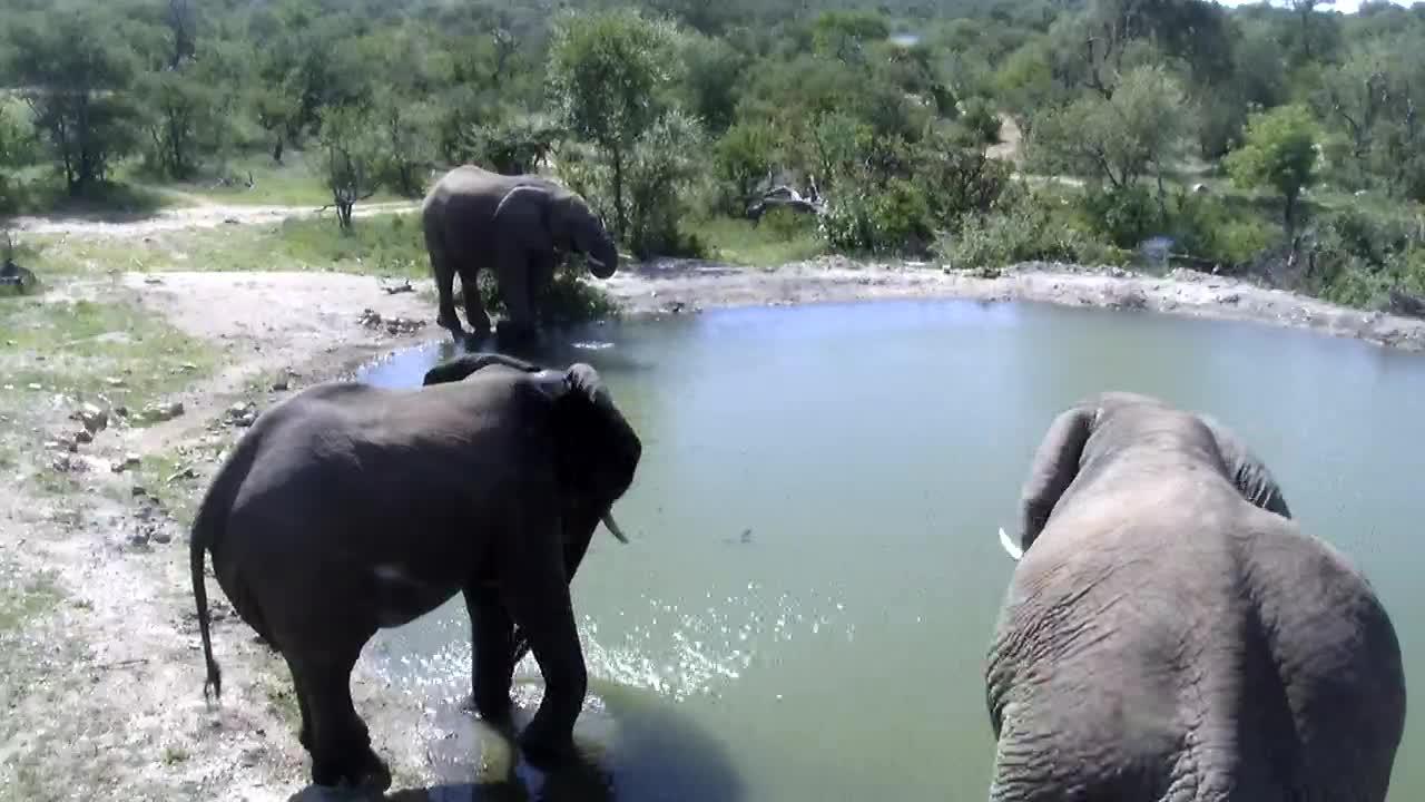 VIDEO: Three Elephants having a drink
