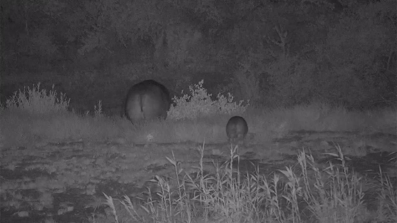 VIDEO: Hippo Mom and Baby grazing at the river bank