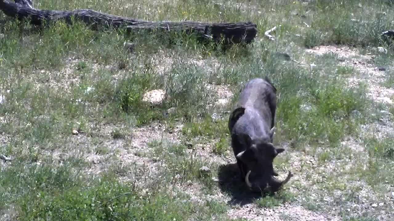 VIDEO: Warthog enjoying a good feed