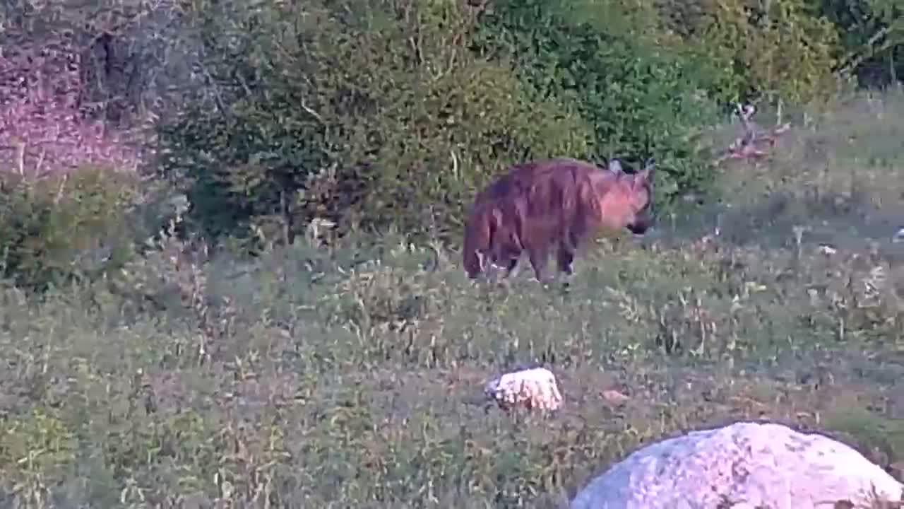 VIDEO: Brown Hyaena (Tau) Part 1