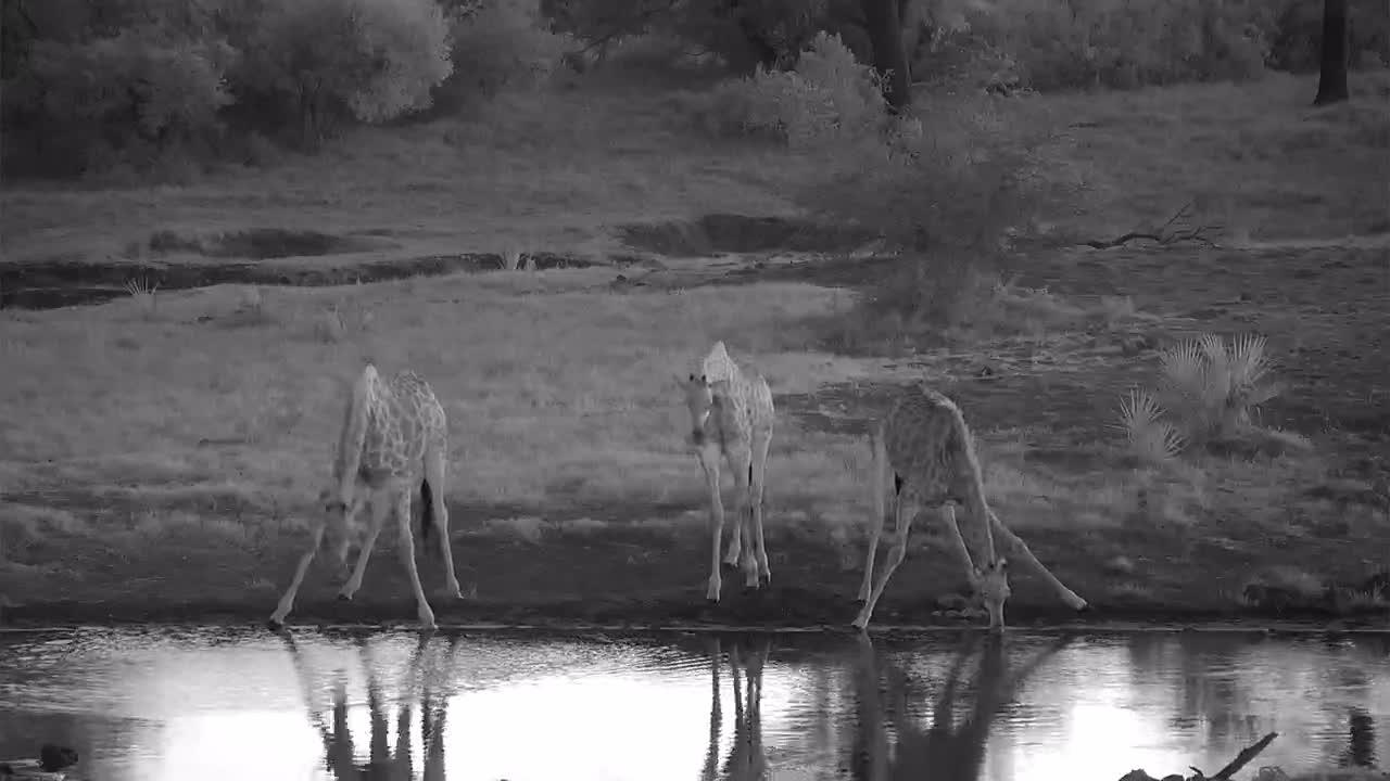 VIDEO:  5 Giraffes having a drink