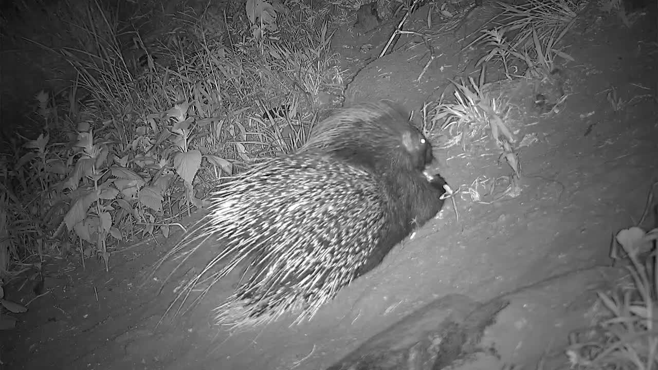 VIDEO: Hungry Porcupine found dinner