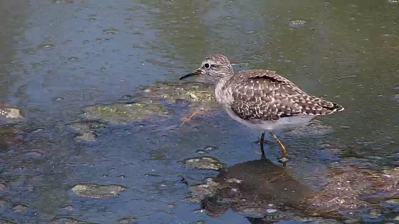 VIDEO: Wood Sandpiper foraging in the shallow water